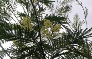 Acacia mearnsii in bloom