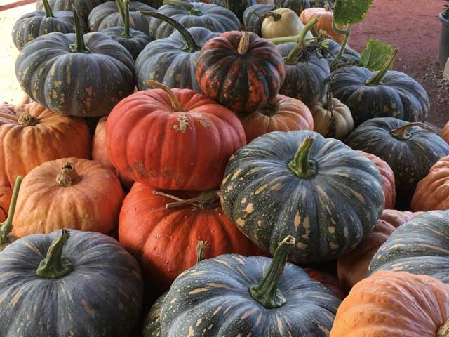 Pumpkins at the Macleod Organic Community Garden