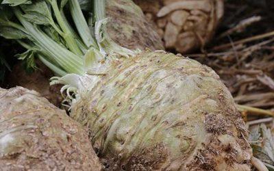 Growing celeriac
