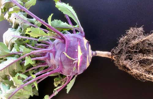 kohlrabi with roots