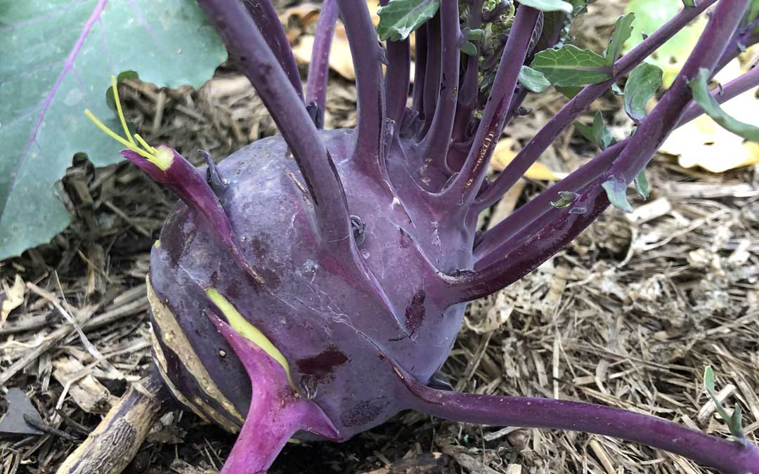 Growing kohlrabi – king of the cabbages