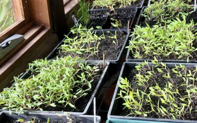 Members growing spring seedlings at home
