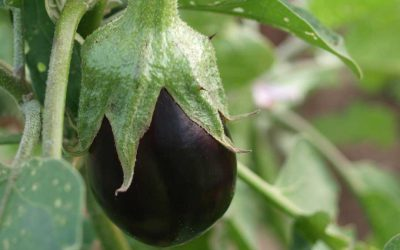 Growing spectacular eggplants and capsicums