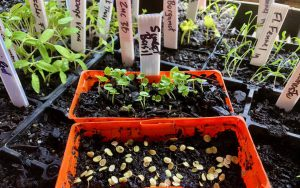 Preparing seeds in punnets for planting