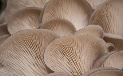 Oyster and shiitake mushroom bulk buy