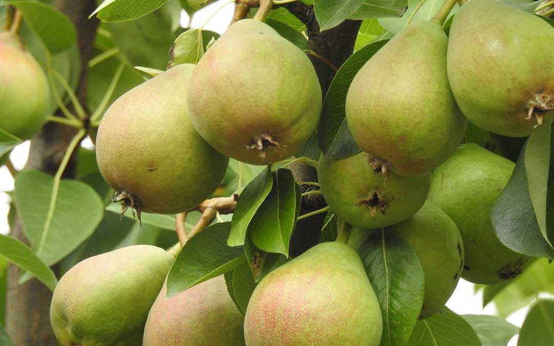 Coddle your apples, pears and quince trees against codling moth