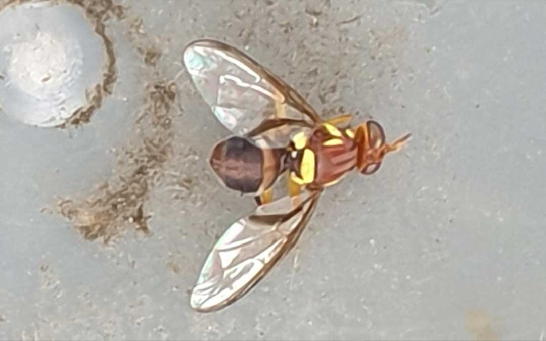 Queensland Fruit Fly strategy #1 – start right now!