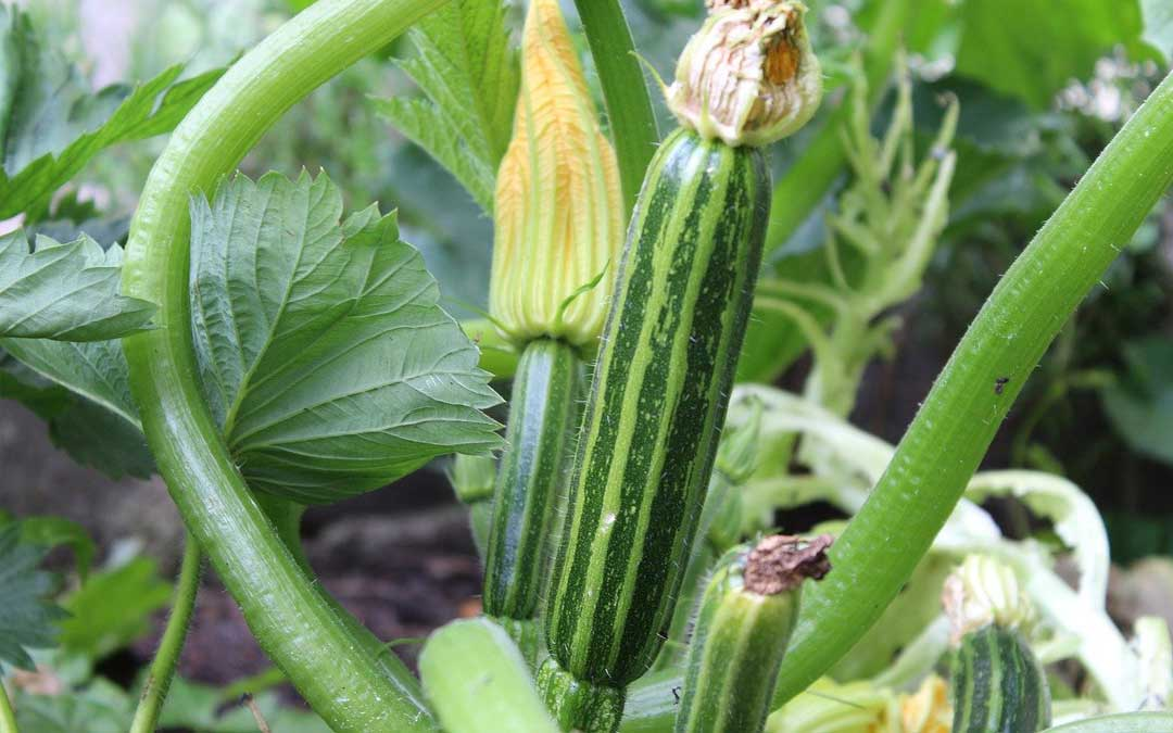 Zucchini growing in Melbourne