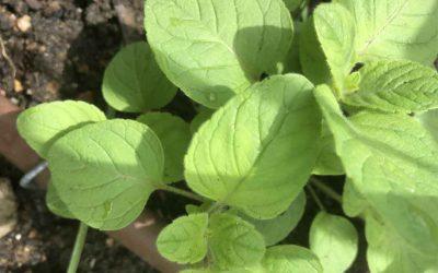 Plant identity alert – Calamint