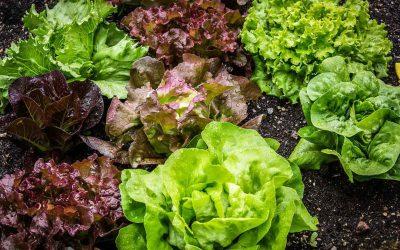 Growing salad greens
