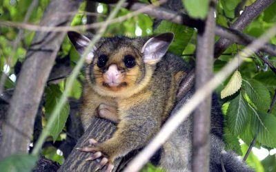 Dealing with pesky possums in your garden