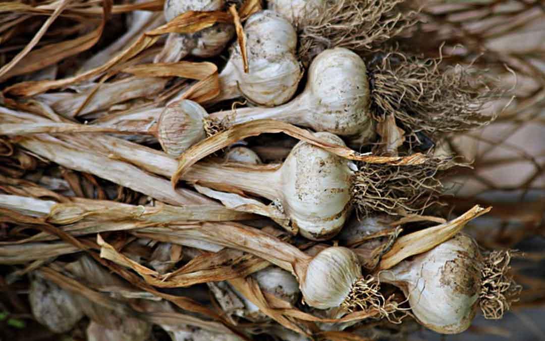 garlic drying
