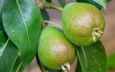 Defeating pear and cherry slug