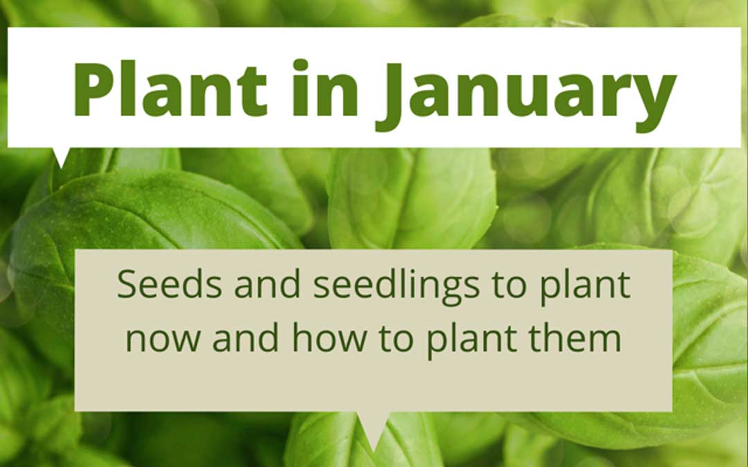 What to plant in January in Melbourne