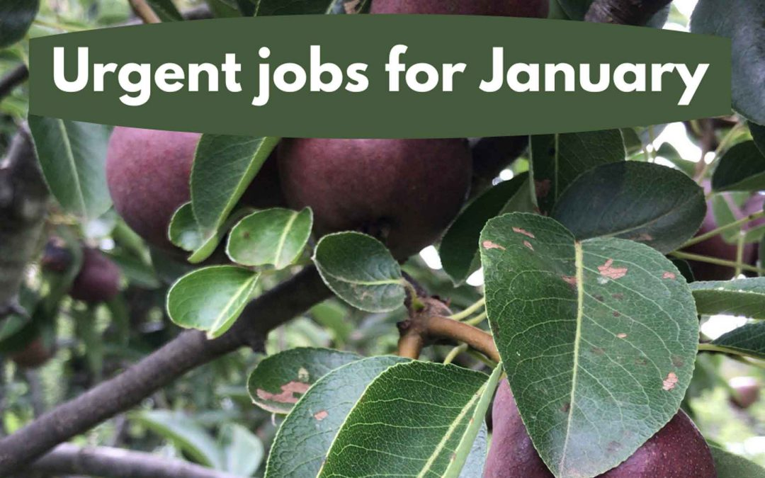 Urgent jobs in the garden for January