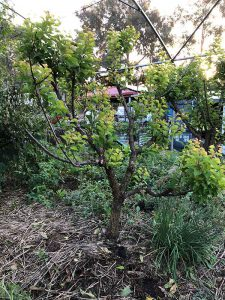 apricot tree with thinning pruning cut