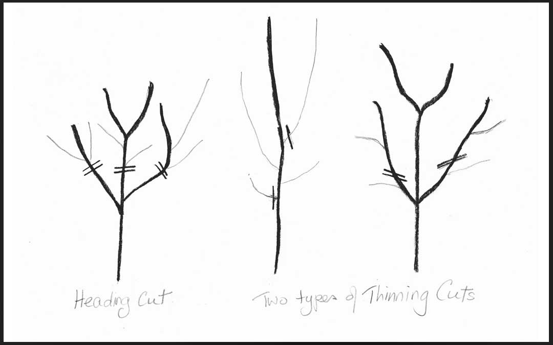 How to reduce the height of fruit trees