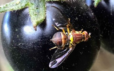 Queensland Fruit Fly strategy #2 – 5 simple steps