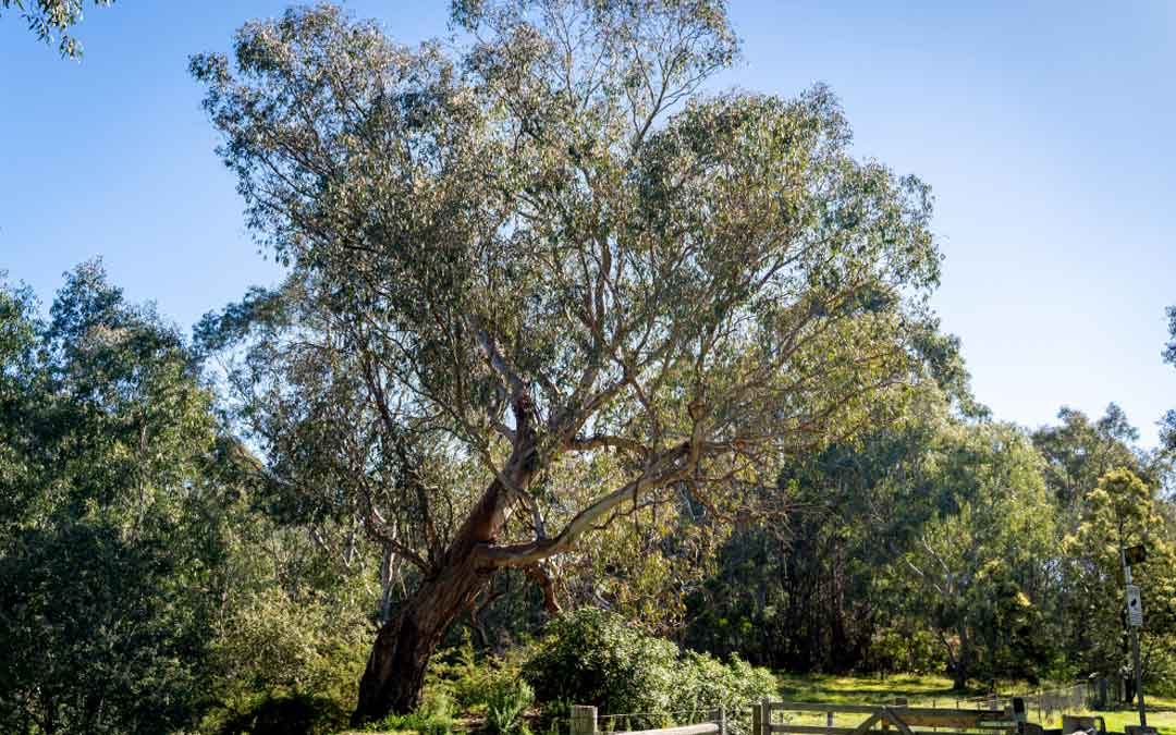 gum tree in Studley park