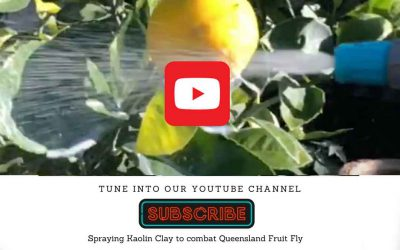 Kaolin clay: part of the solution to controlling Queensland Fruit Fly